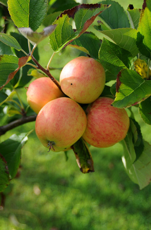 RHS offers tips on growing apples