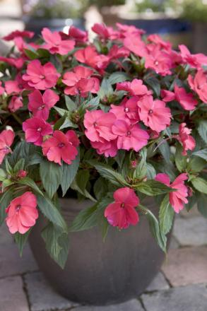 New patio plants make summer sizzle