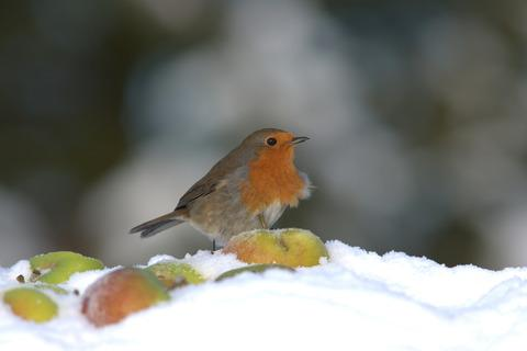 A robin in winter by Jason Curtis
