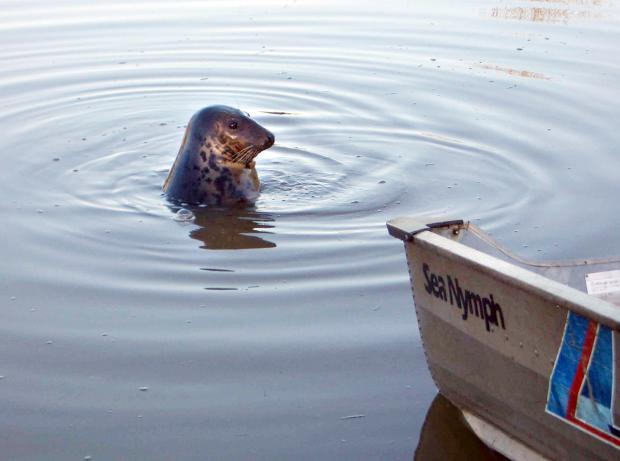 Droitwich Advertiser: Keith the seal at Northwick Marina. Picture by Mike Fernandes.