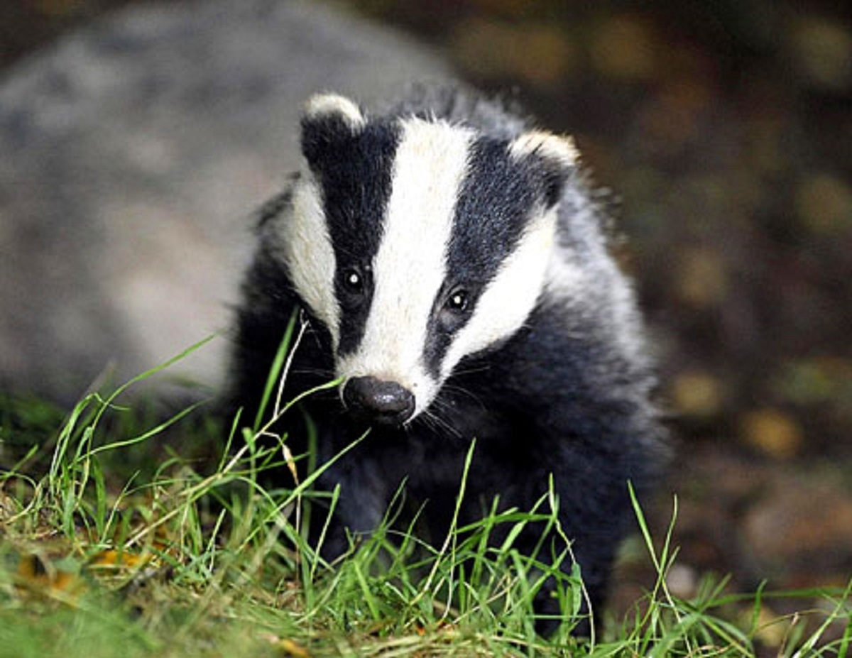 RSPCA calls for public to fight second badger cull