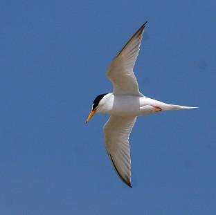 Little terns have been badly affected by recent severe weather conditions, the N