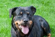 Jackie the rottweiler is looking for a new home. SP